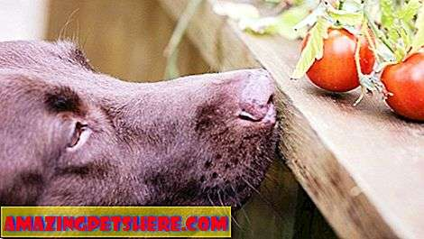 Can Dogs Eat Tomatoes?