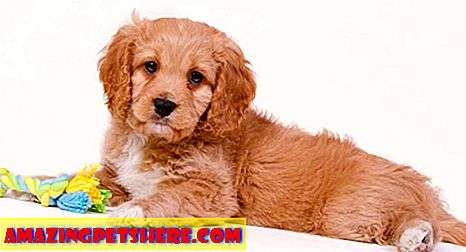 Cavapoo - The Cavalier King Charles Spaniel Poodle Mix