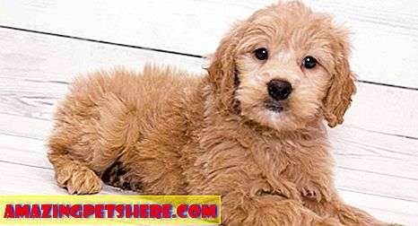 Goldendoodle: Golden Retriever Pudel Mix