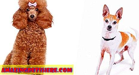 Foodle - The Fox Terrier Toy Poodle Mix