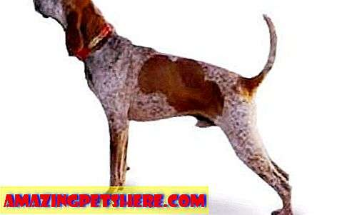 lain: American English Coonhound