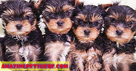 Puppy Search: Puppy search 12: menemukan peternak