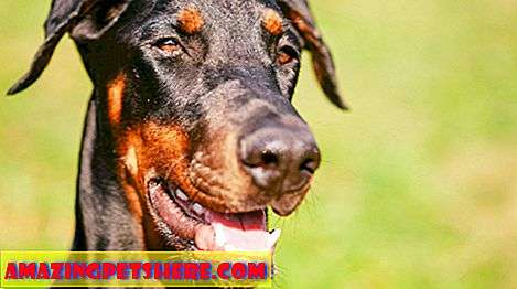 Murni: Doberman Pinscher - Fierce Guard Dog Atau Loyal Family Pet?