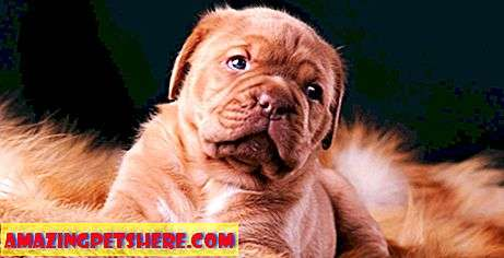 Murni: The Dogue de Bordeaux