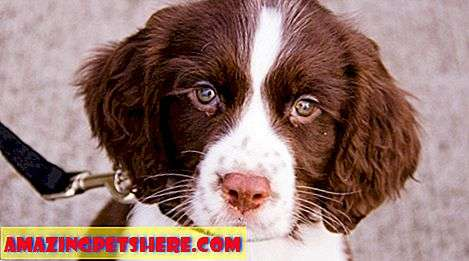 Murni: The English Springer Spaniel