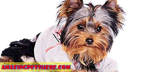 Ulasan: Yorkie Clothes - The Best in Yorkshire Terrier Clothes