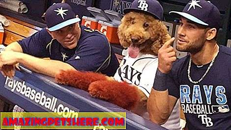 Servisní psi: Super Dog Max sa vyčerpá s Tampa Bay Rays Baseball Team