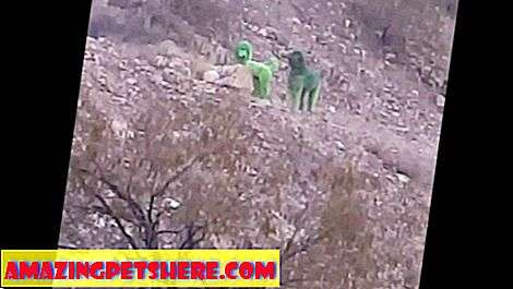 Mystery Of The Green Poodles Spotted Roaming Mountainside RISOLTO